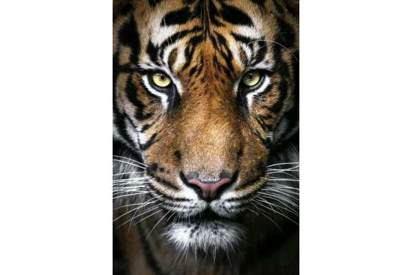 Wizardi WD2395 Diamond Painting Tiger